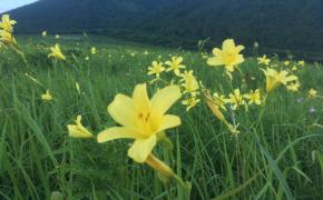 三瓶山西の原の「ユウスゲ」がもうすぐ見頃。観察会も開催されます。